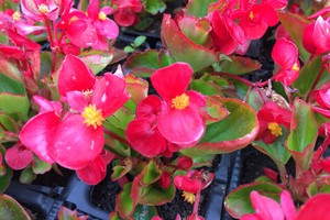 Begonia semperflorens 'Rose'