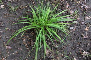 Carex digitata