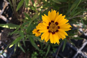 Coreopsis grandiflora 'Andiamo Yellow with Red'