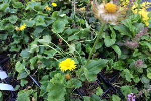 Doronicum orientale 'Little Leo'