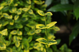 Euonymus fortunei 'EMERALD'n'GOLD'