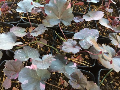 Heuchera hybrida 'Midnight Rose'