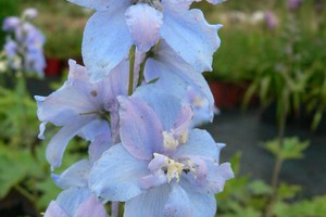 Ostrožka 'Magic Fountains Sky Blue White Bee'