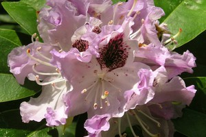 Rododendron 'Blue Peter'