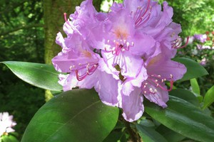 Rododendron 'Goldflimmer'