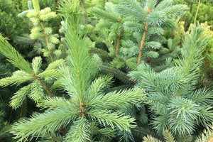 Picea pungens 'Glauca Kaibab'