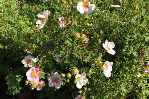 Potentilla fruticosa 'Blink'