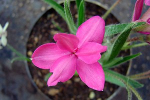 Rhodohypoxis 'Red'