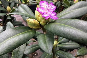 Rododendron 'Alfred'