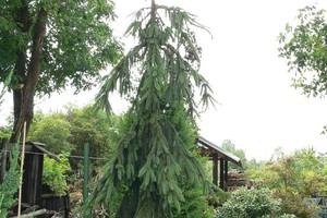 Smrk ztepilý 'Pendula Major'